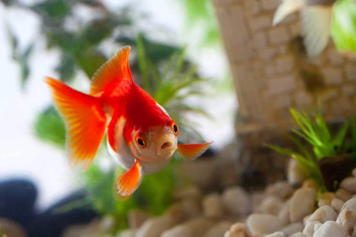 bigstock-Goldfish-motorolka