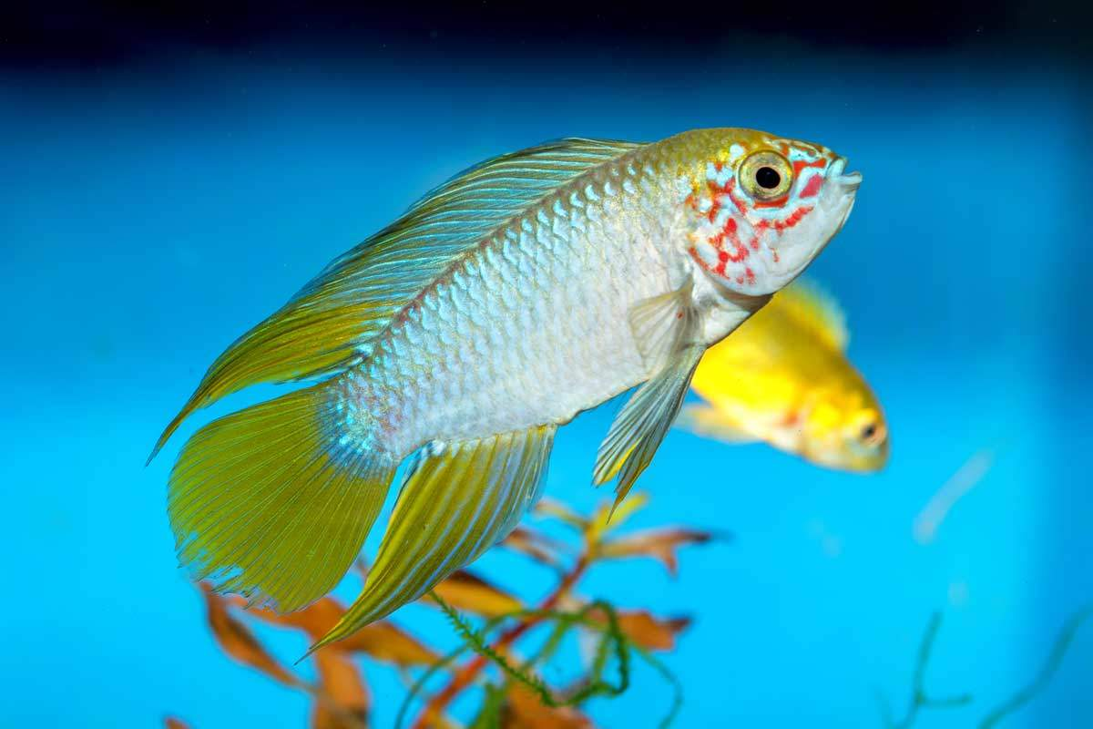 bigstock-Apistogramma-Fish-Neryx