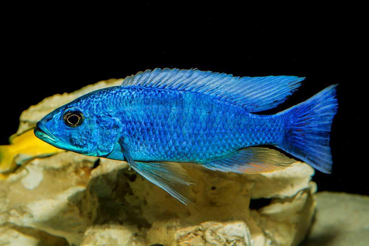 bigstock-Cichlid-Fish-2-Neryx