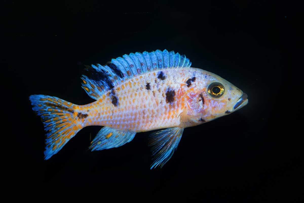 bigstock-Cichlid-Fish-Neryx