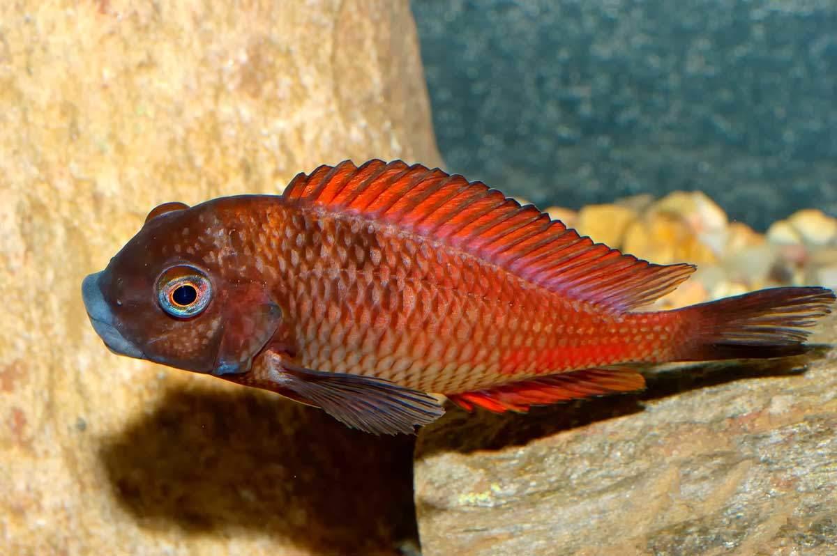 bigstock-Tropheus-Fish-Neryx