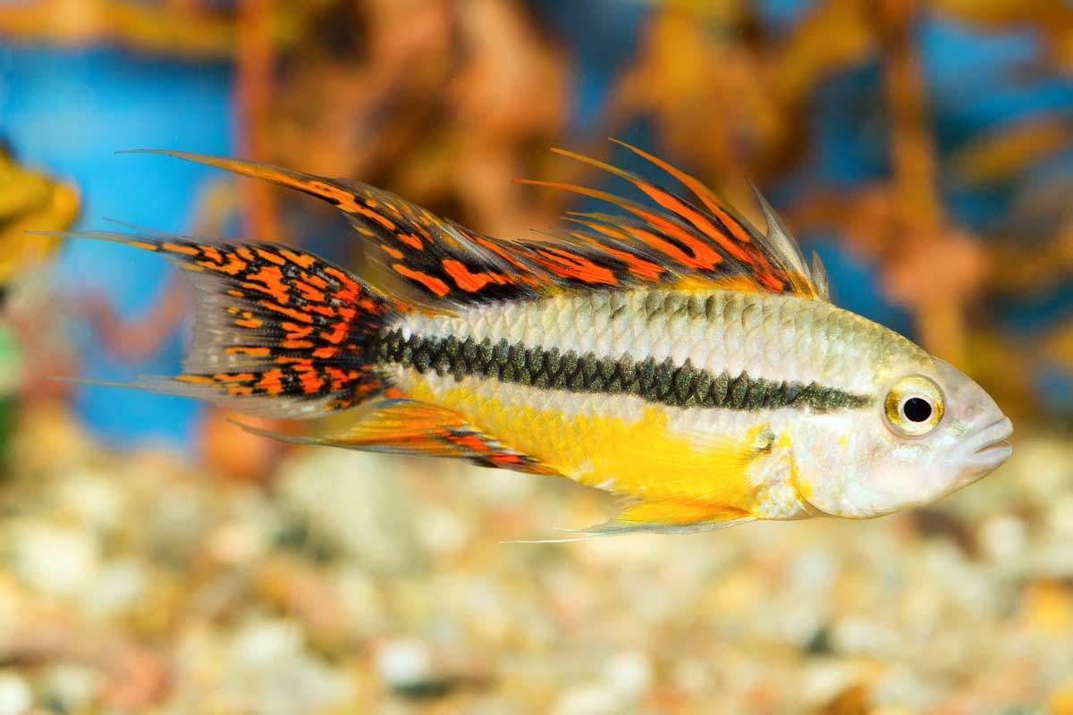 bigstock-Apistogramma-Fish-88982120