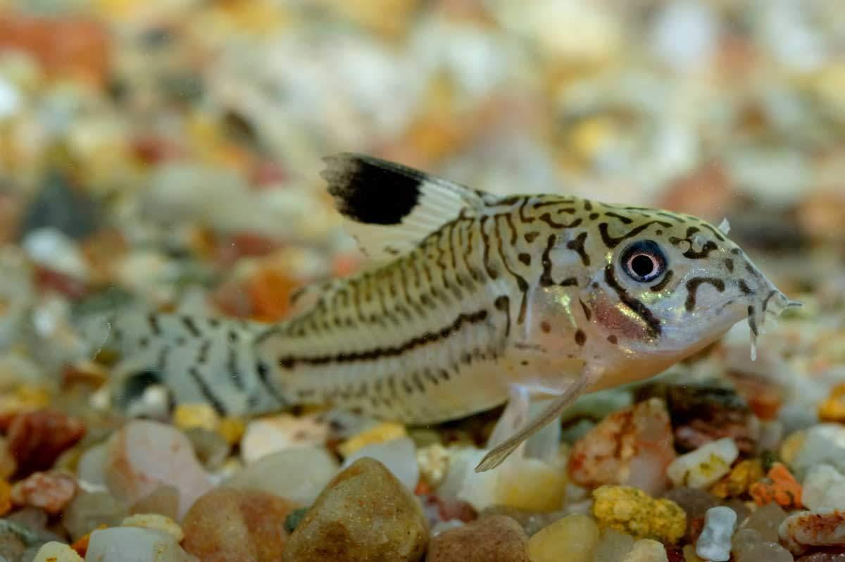 bigstock-Corydoras-Catfish-81534533