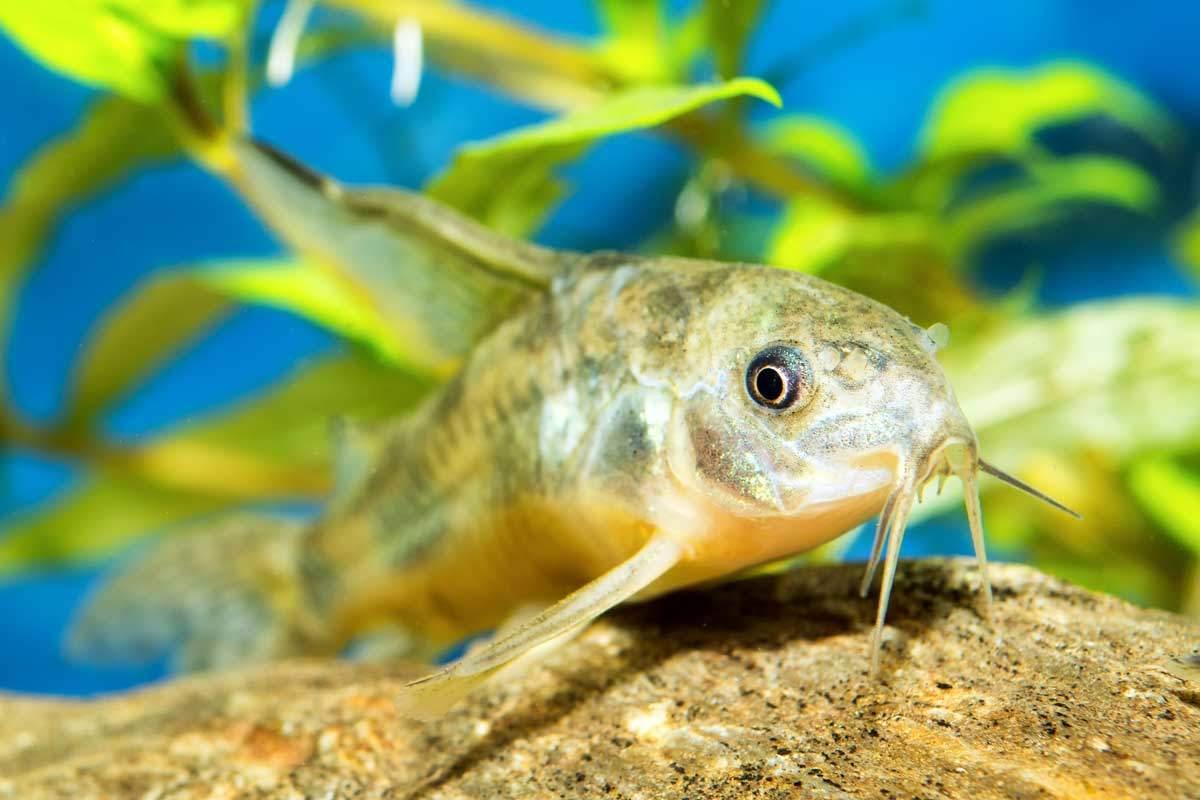 bigstock-Corydoras-Fish-88981955