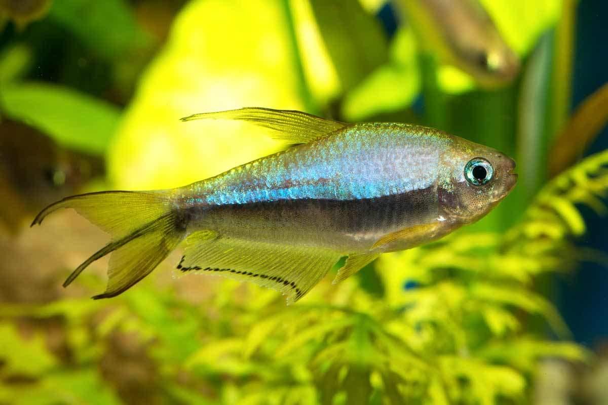 bigstock-Tetra-Fish-88982165