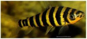 gebaenderter-leporinus