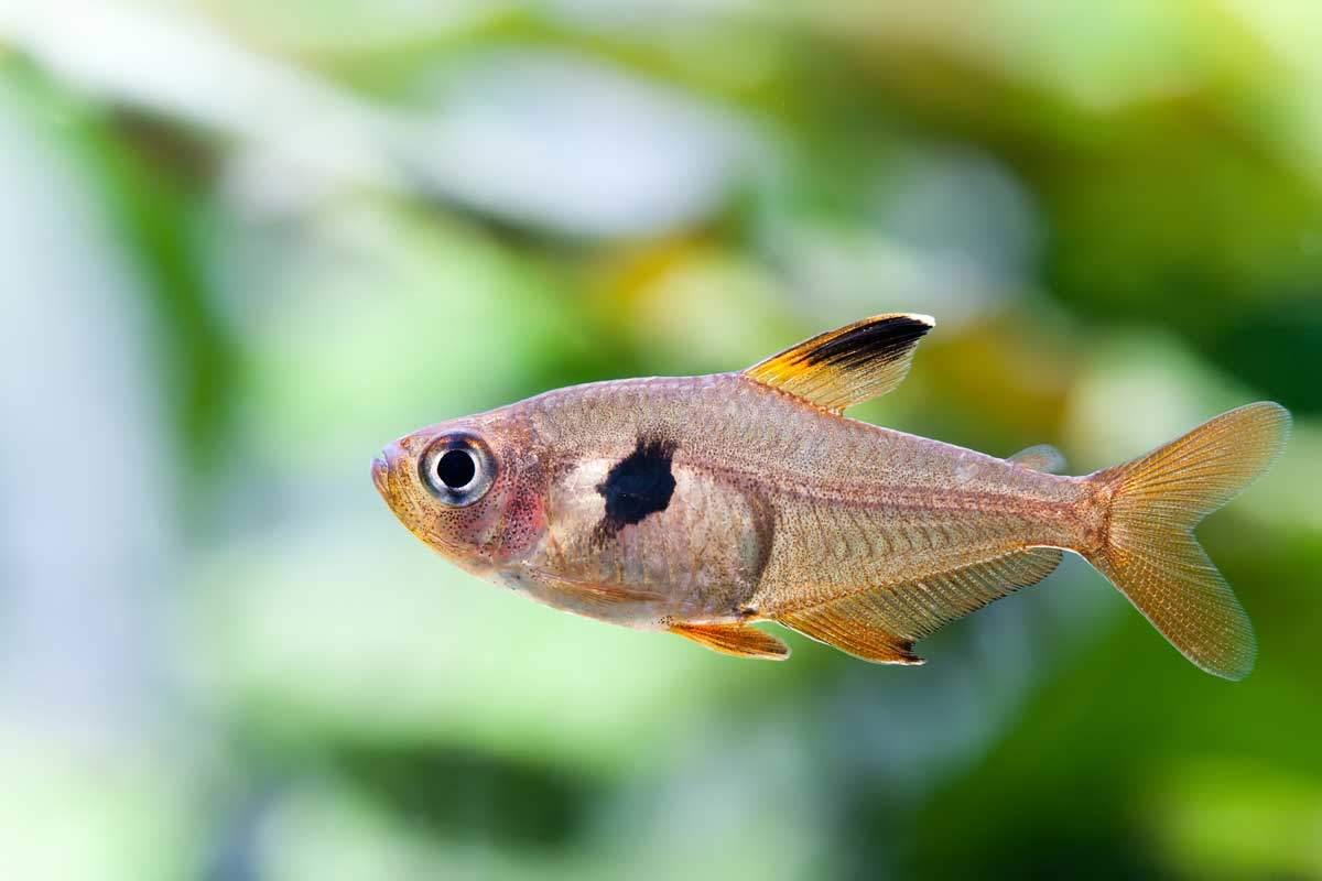 bigstock-Aquarium-Fish-Rosy-Tetra2-Besjunior