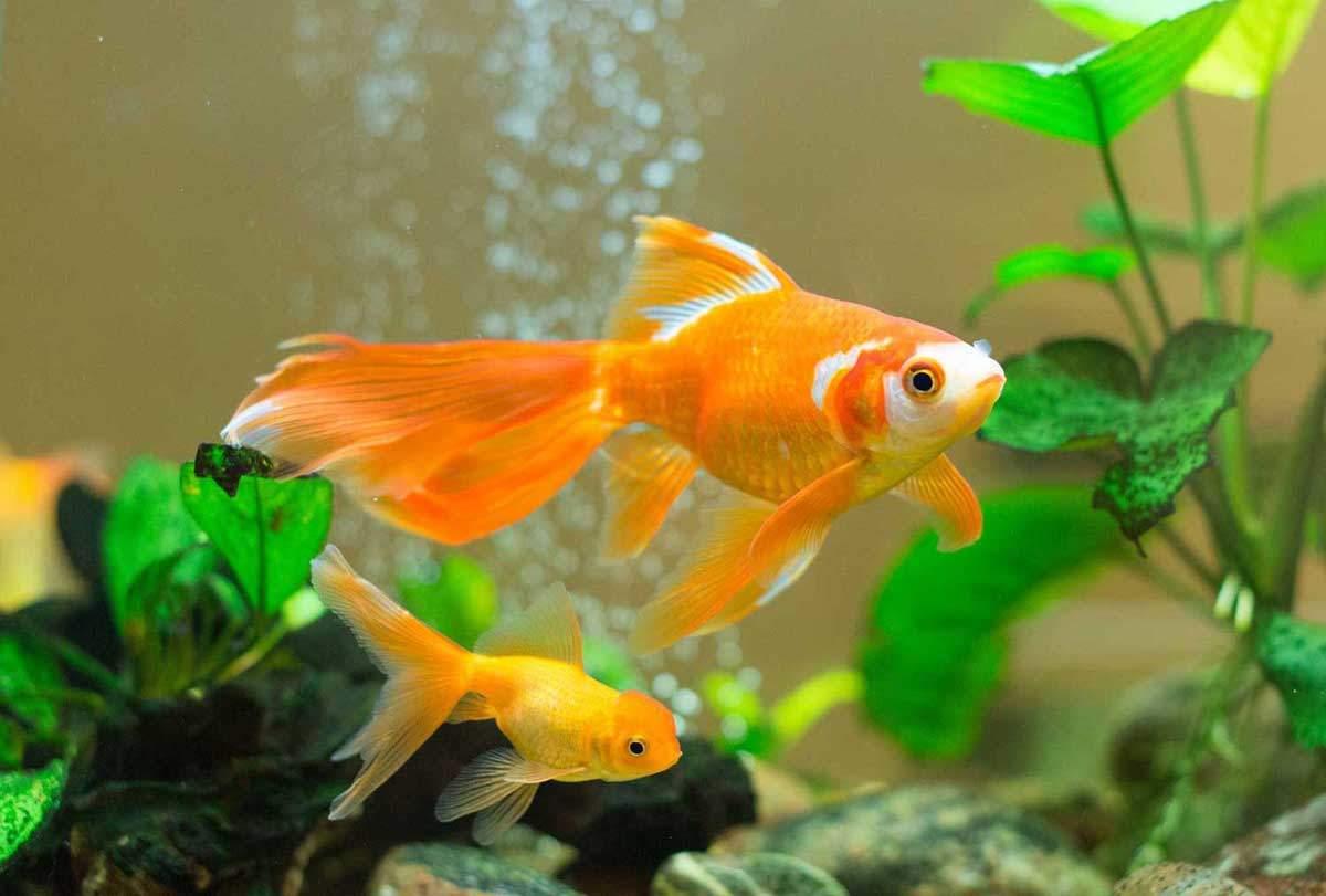 bigstock-Few-Goldfishes-Swim-In-An-Aqua-DMPhoto