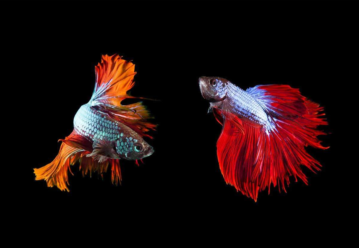 bigstock-Two-Of-Beautiful-Color-Betta-F-khunaspix