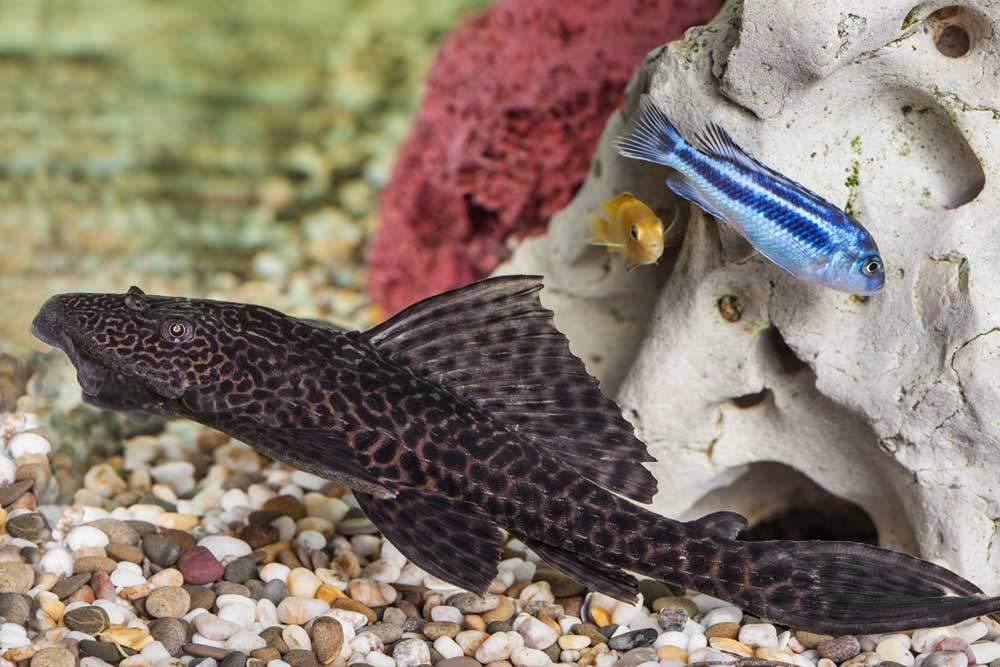 bigstock-Aquarium-Catfish-Closeup-Photozi