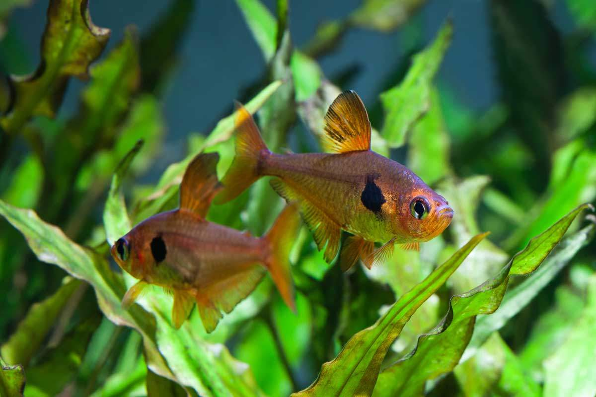 bigstock-Aquarium-Fish-Besjunior