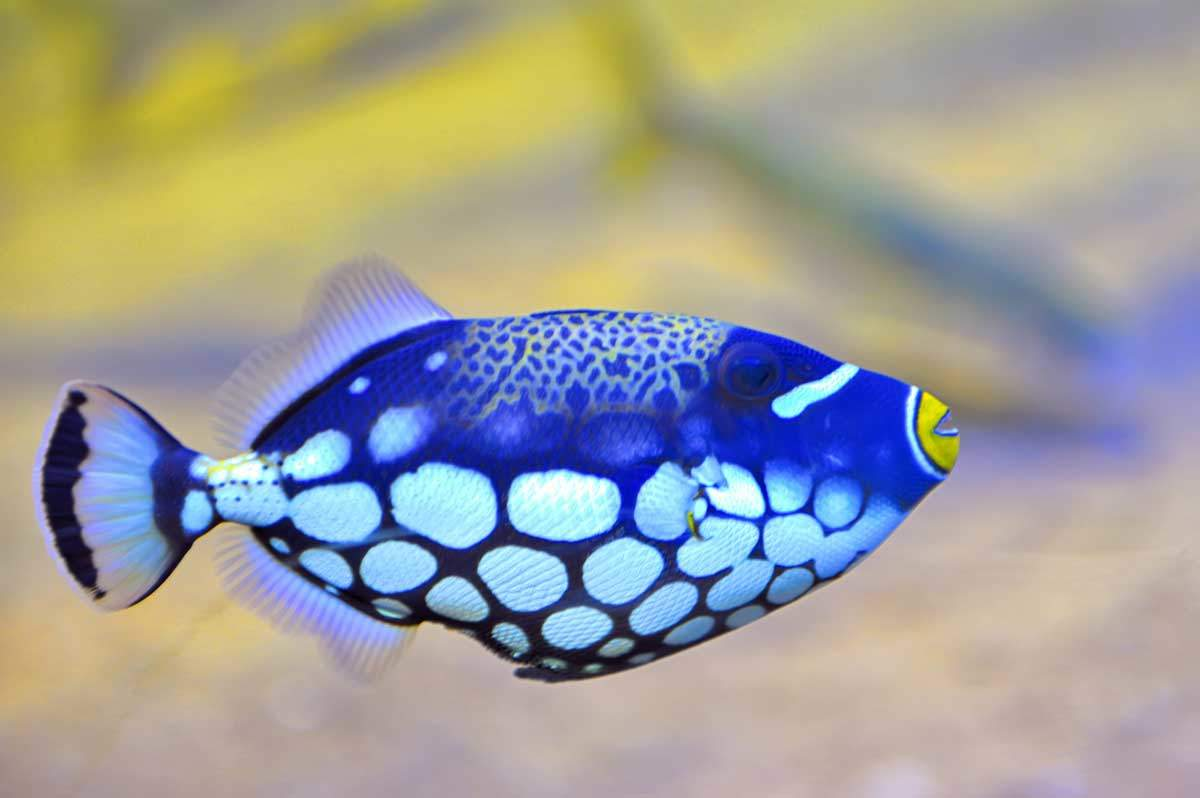 bigstock-Colorful-Butterfly-fish-mady70