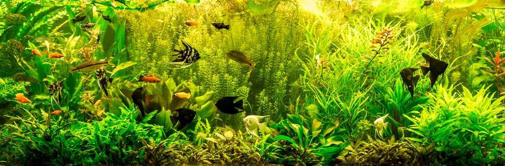 bigstock-Ttropical-Freshwater-Aquarium-bloodua