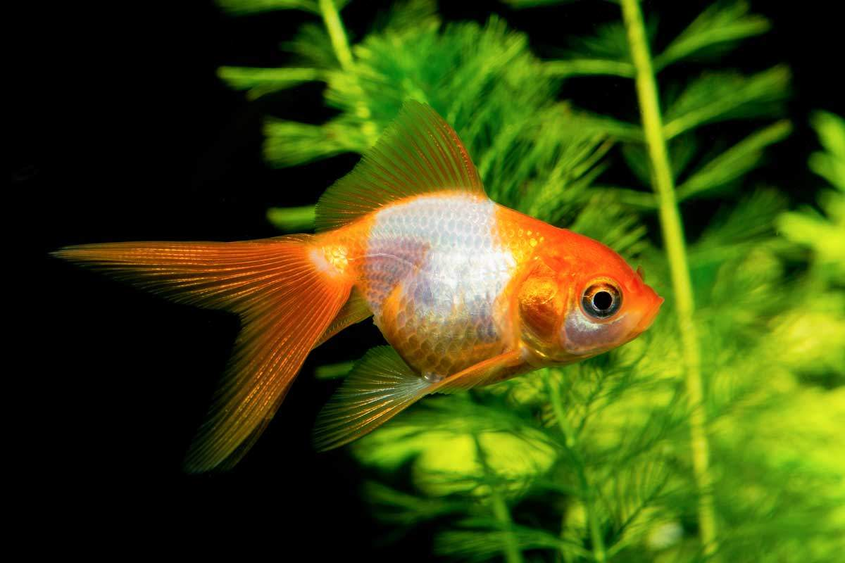 bigstock-White-Orange-Goldfish-Neryx