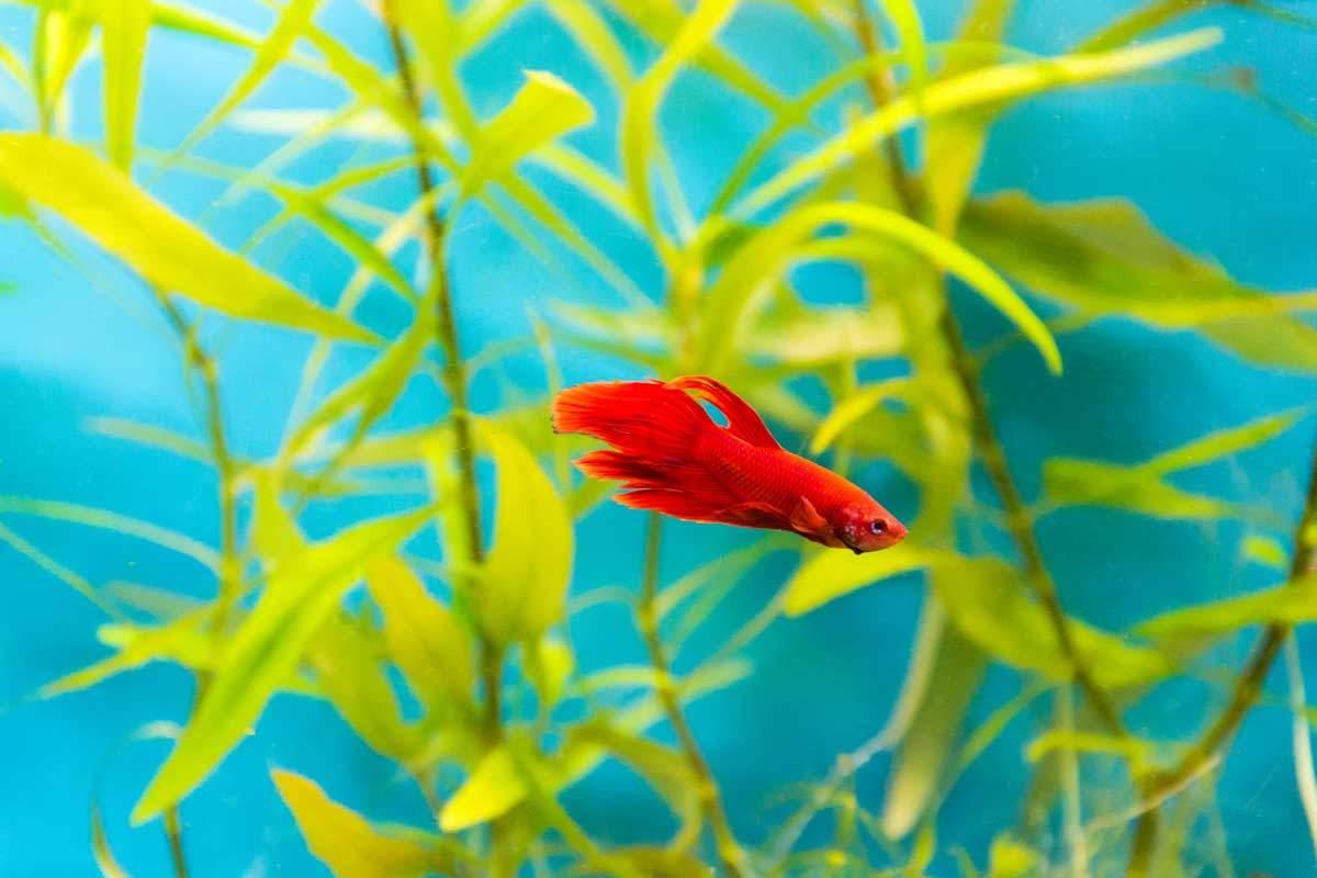bigstock-Aquarium-Cockerel-Fish-86408816