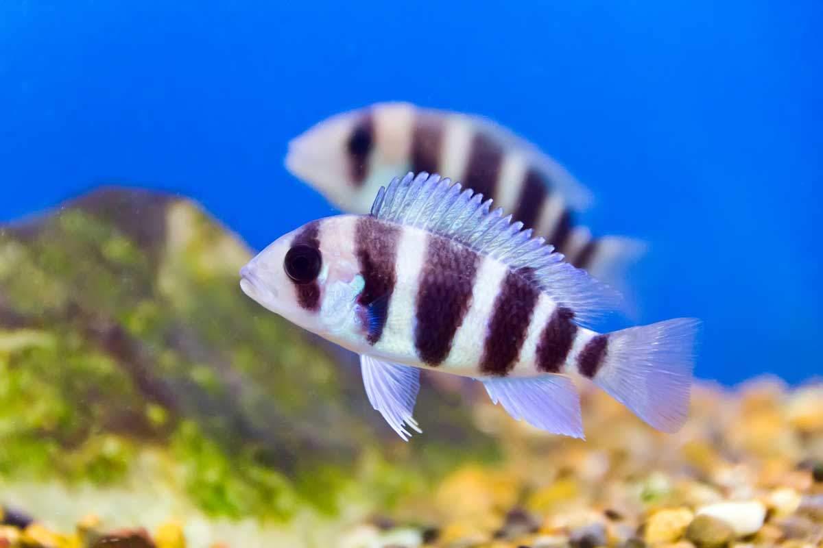 bigstock-Aquarium-Fish-94917350