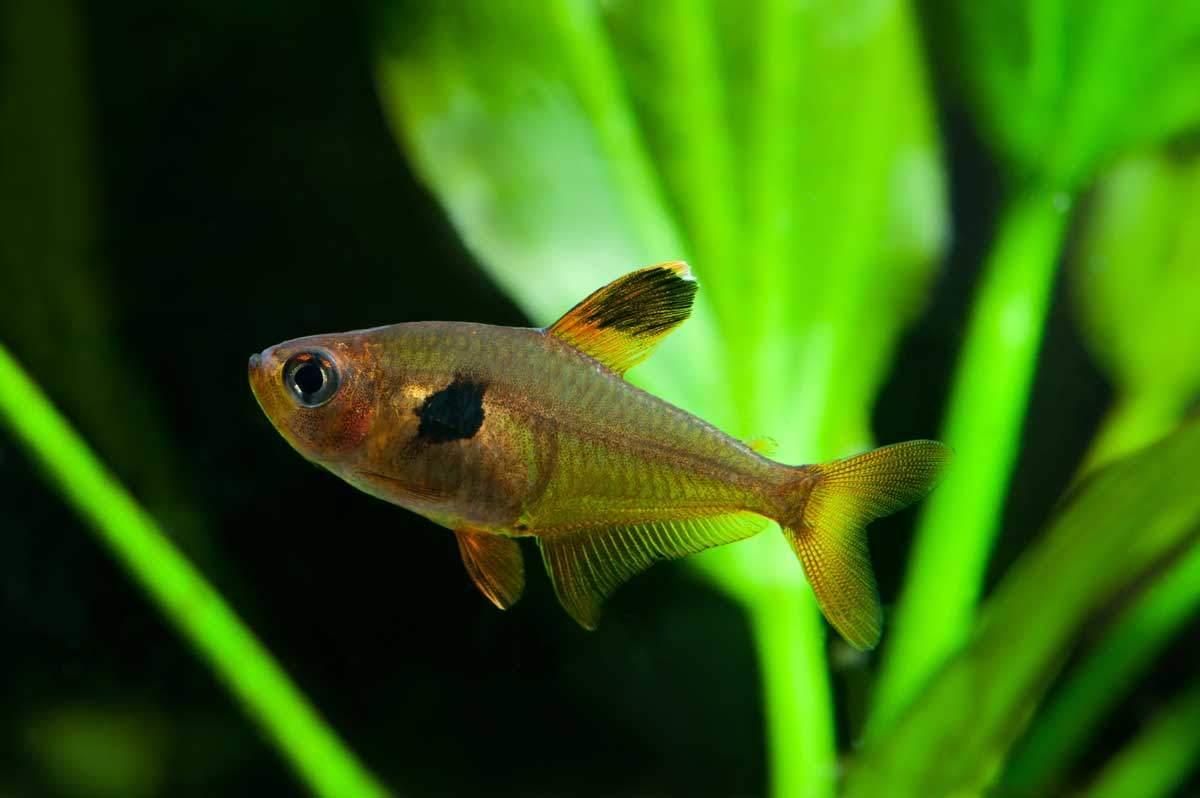 bigstock-Aquarium-Fish-Rosy-Tetra-Nat-82737470