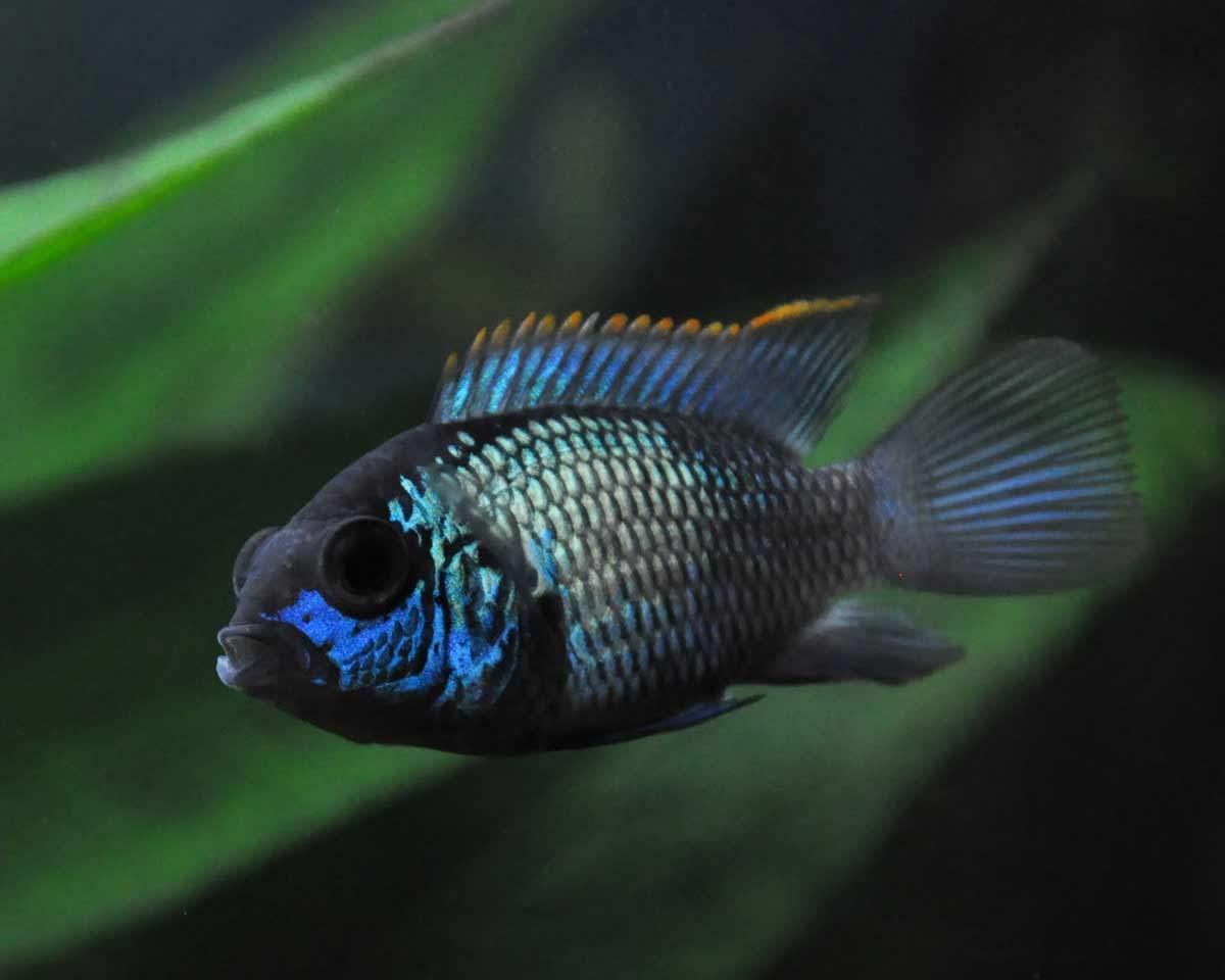bigstock-Aquarium-fish-Cichlidae-86621867