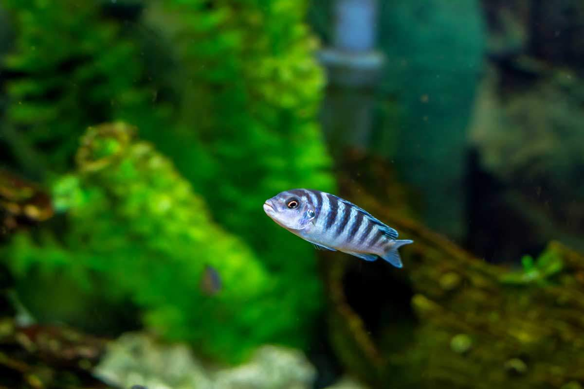bigstock-Beautiful-Little-Aquarium-Fish-66423010