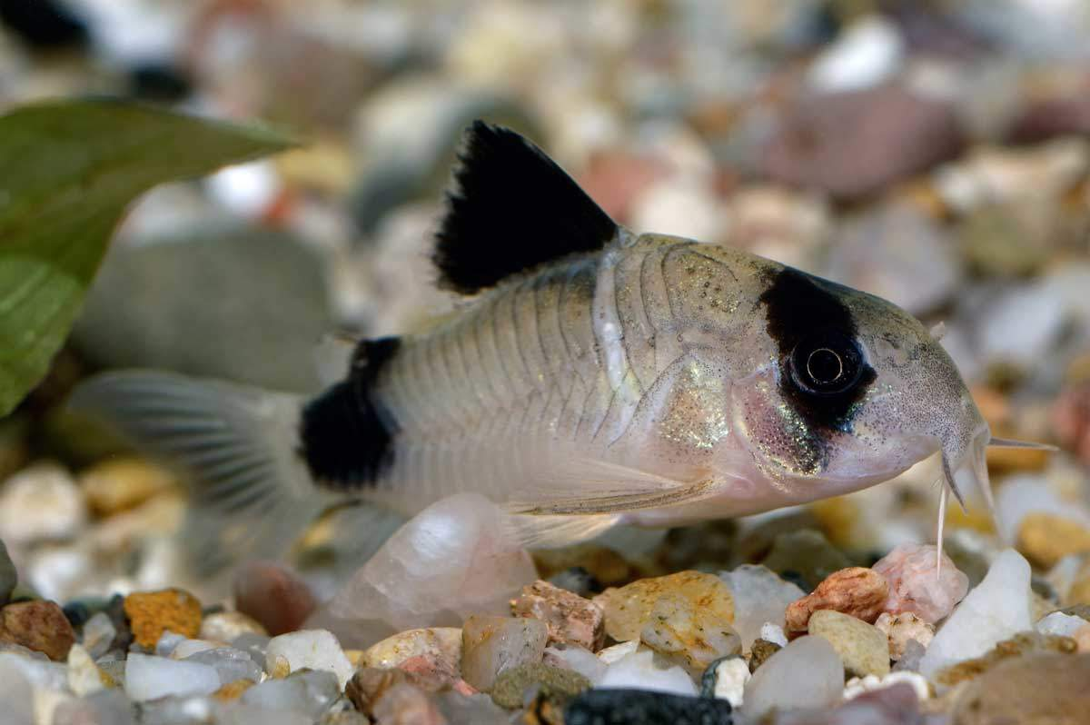 bigstock-Corydoras-Fish-78907559