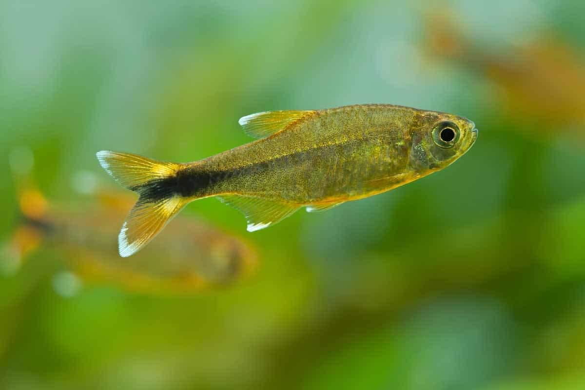 bigstock-Aquarium-Fish-Silver-Tipped-T-81263045