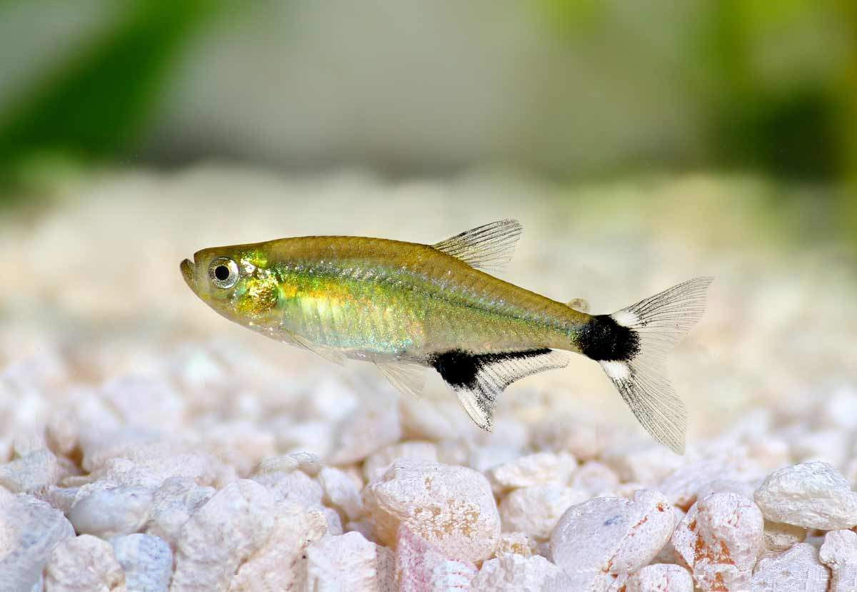 bigstock-Aquarium-fish-Panda-Tetra-dawn-103504316