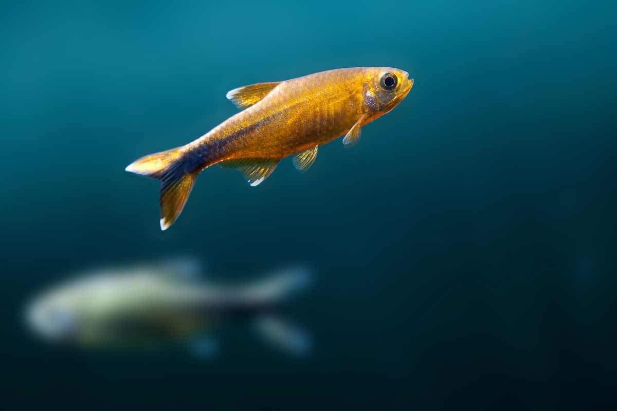 bigstock-Gold-Orange-Fish-92961470
