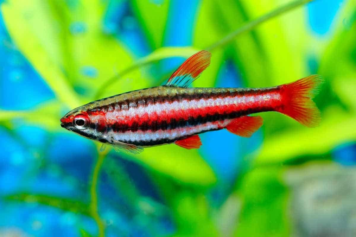 bigstock-Nannostomus-Fish-90072524